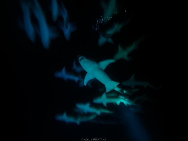 ฝูง nurse sharks แห่ง Alimata กับการดำน้ำกลางคืนครั้งแรกของผม