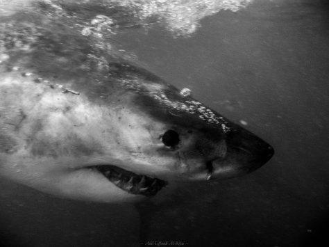 เย้ ภารกิจสำเร็จ ได้ถ่ายภาพฉลามขาวในตำนานแบบจมูกชนจมูก