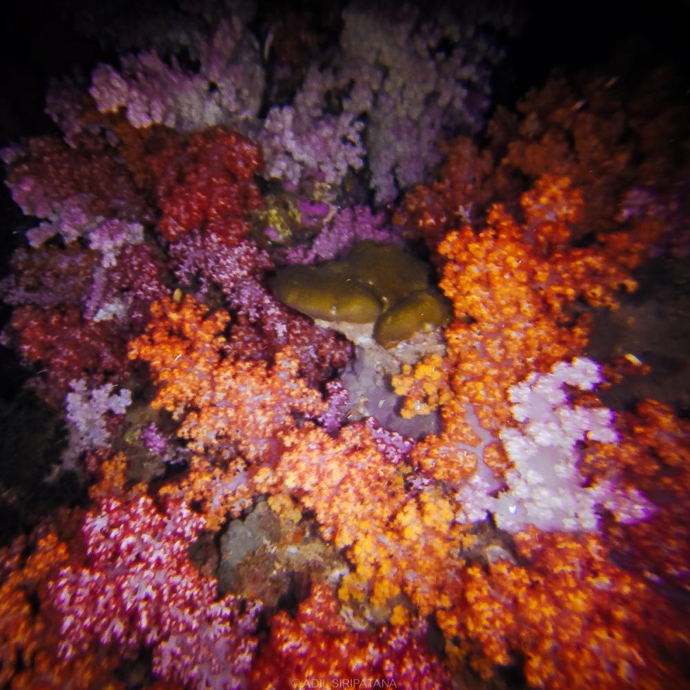 ปะการังเจ็ดสีตอนกลางคืน ยิ่งเด่นกว่าเดิม