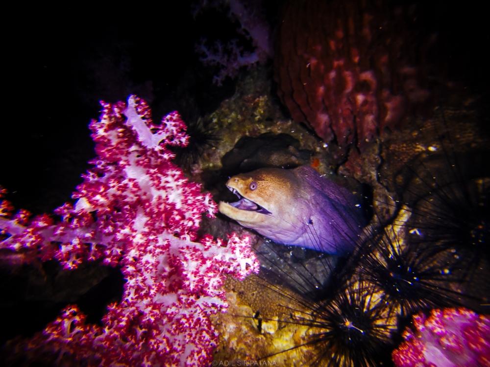ความพิเศษของการดำน้ำกลางคืนที่หลีเป๊ะคือเราจะเจอมอเรย์ตัวเป็นเมตรออกหากินเยอะมาก ทั้งสวย ทั้งน่าหวาดเสียว