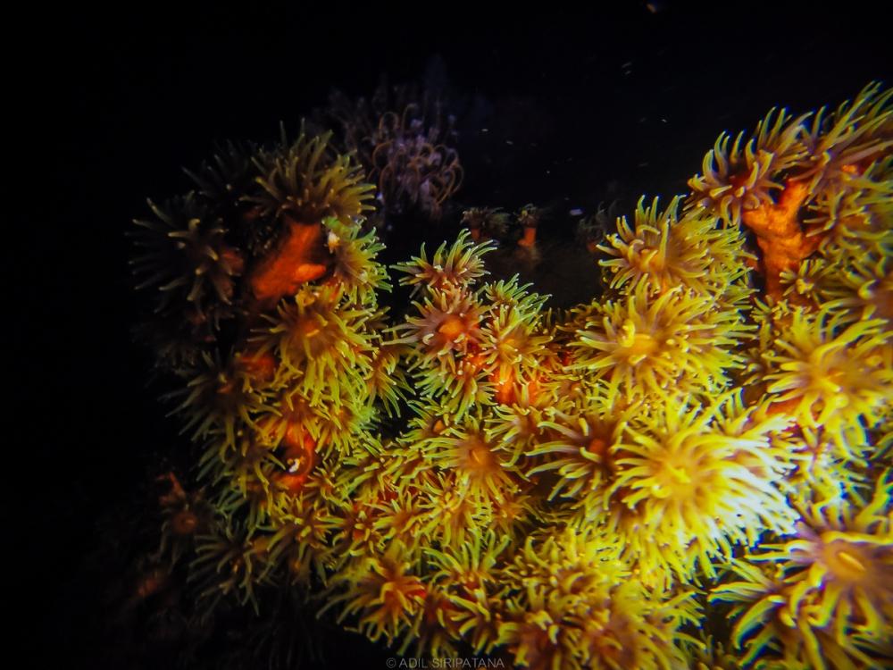 ปะการังหากินกลางคืน