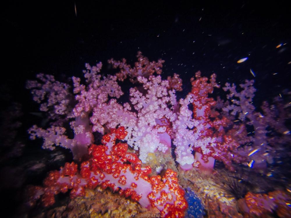ปะการังอ่อนอันตระการตา
