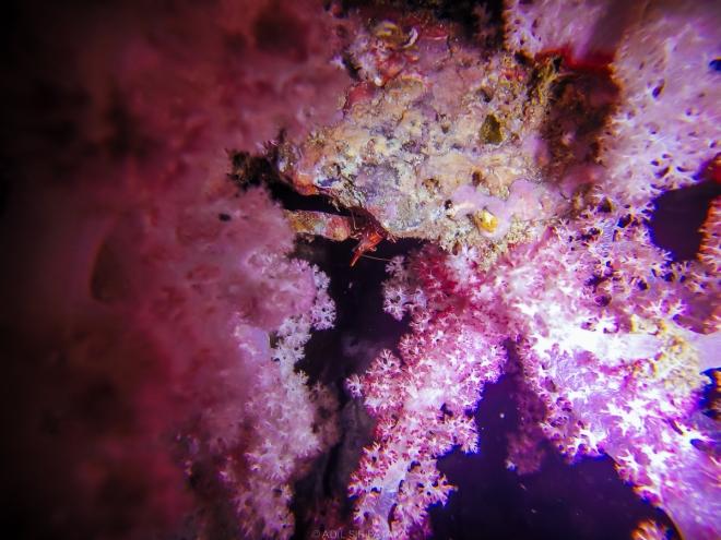 กุ้งตัวเล็ก ได้รับความนิยมจากนักดำน้ำ